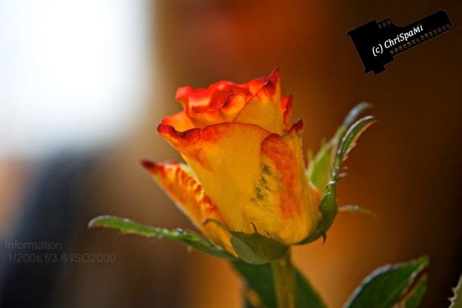 Eine Rose im Vorbeigehen...