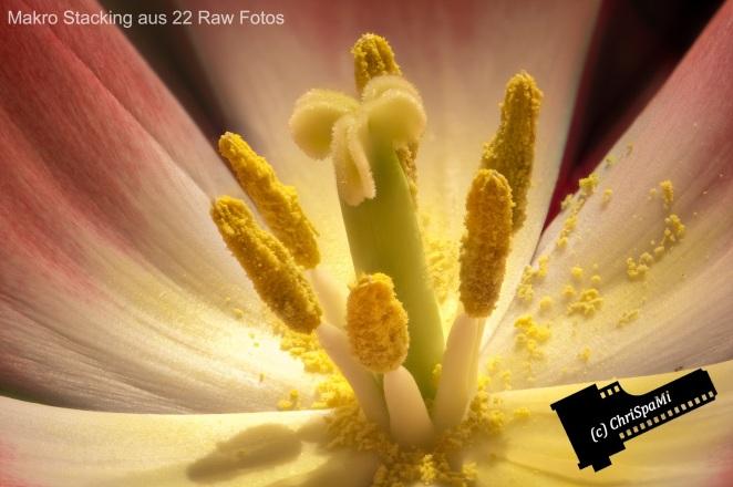 Die Tulpe - Makro