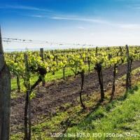 in the vineyards - Frühling im Weingarten