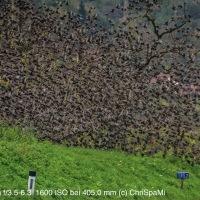 Die Vögel - Stare im Weingarten
