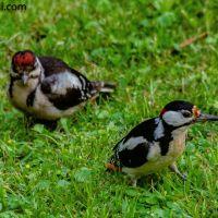 Im Garten II : Buntspecht mit Jungvogel