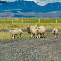 Schafe und Island